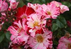 Filoli-Roses-Spring-2011_019