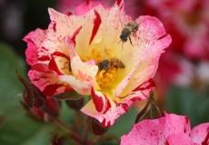 Filoli-Roses-Spring-2011_027