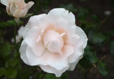 Filoli-Roses-Spring-2011_046