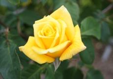 Filoli-Roses-Spring-2011_050