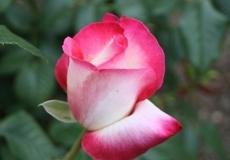 Filoli-Roses-Spring-2011_056