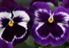 Filoli-Roses-Spring-2011_095