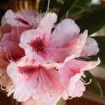 Filoli-Spring-2100_IMG_0581