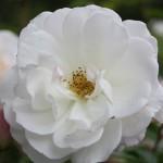Filoli-Roses-Spring-2011_055