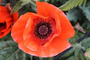 Filoli-Roses-Spring-2011_077